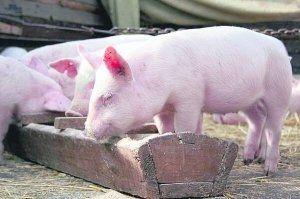 Не можна забувати і про воду, в якій потребують свині