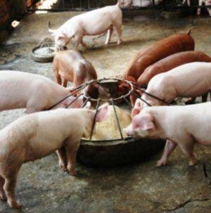 Щоб відгодувати свиню, потрібно застосувати спеціальний раціон