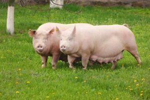 Не можна постійно тримати свиню під замком, потрібно випускати тварину на прогулянки