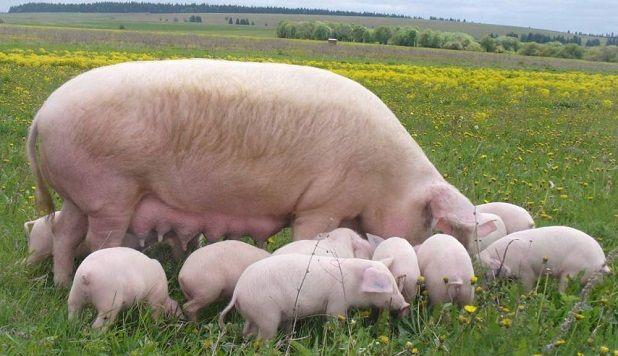 Домашнє свинарство: з чого почати