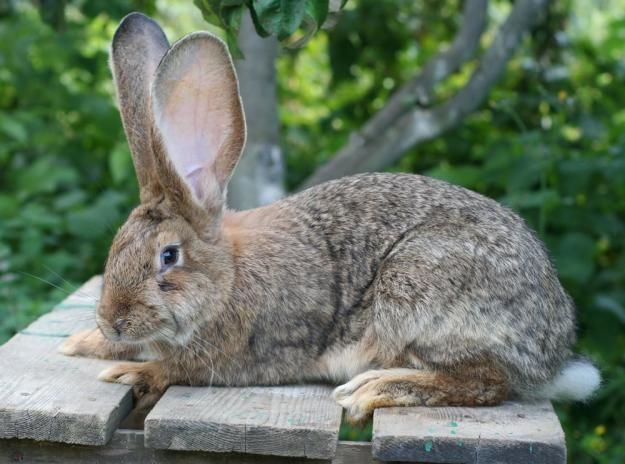Домашні кролики