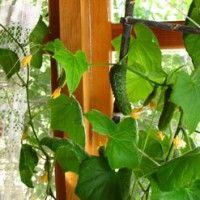 Домашні огірки