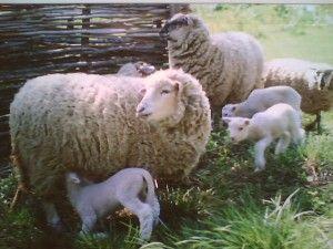 Домашні вівці