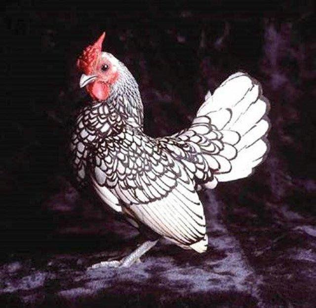 Домашня птиця - курка