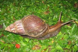 Домашня равлик ахатина: догляд та утримання