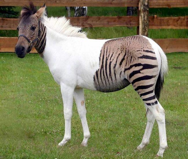 Гібрид віслюка і зебри, іменований донкра, був створений абсолютно природним шляхом.
