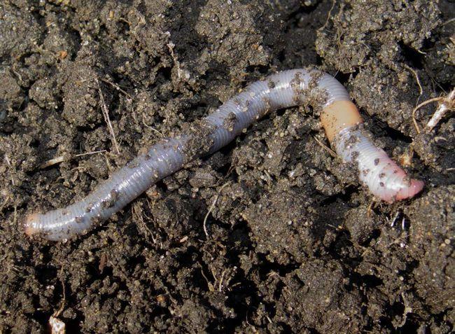 Черви переробляють землю, отримуючи з неї поживні речовини, тим самим заодно розпушують ґрунт.
