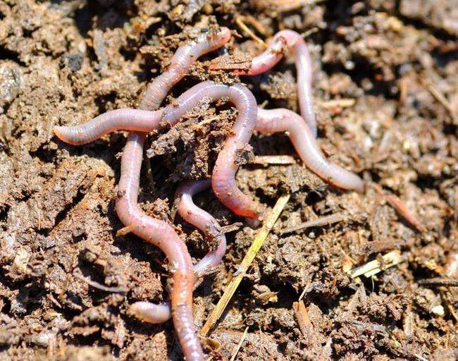 Дощові черв`яки приносять велику користь сільському господарству.