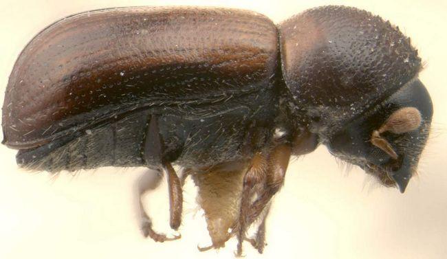 Хвойний древесіннік (Trypodendron lineatum).