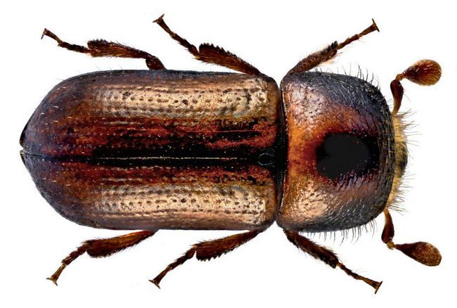 Хвойні древесіннікі - шкідливі для лісу жуки.