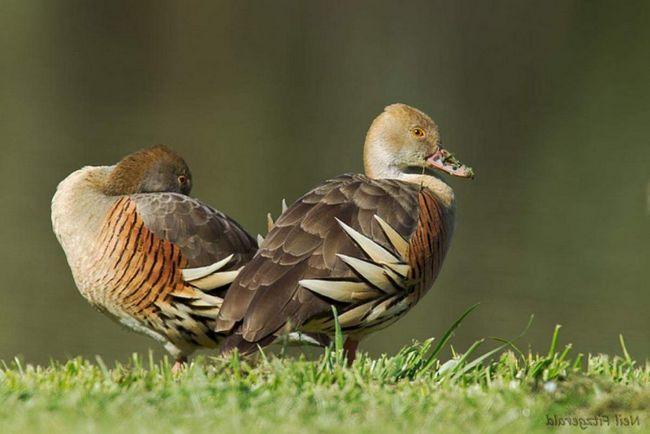 Ці птахи мешкають на тропічних луках уздовж низинних боліт.