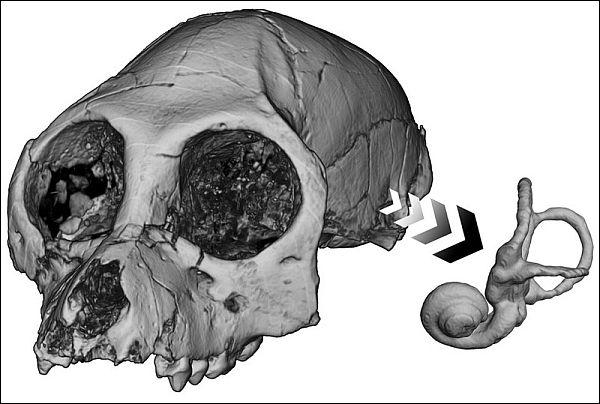 Череп і кістковий лабіринт вимерлої вузьконосого мавпи Aegyptopithecus zeuxis