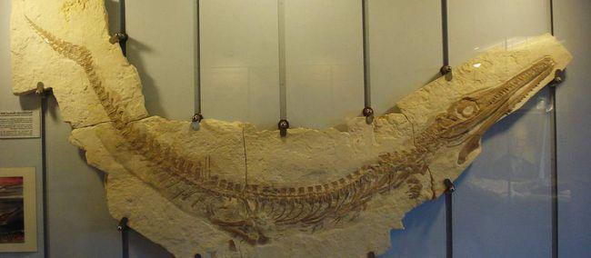 Скам`янілі останки геозавра (Geosaurus).
