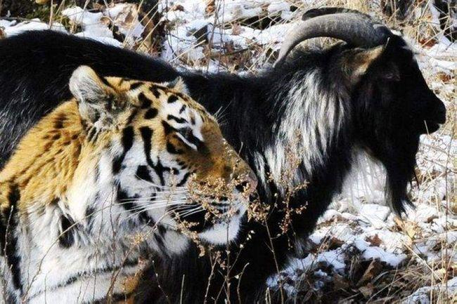 Дружба тигра і козла.