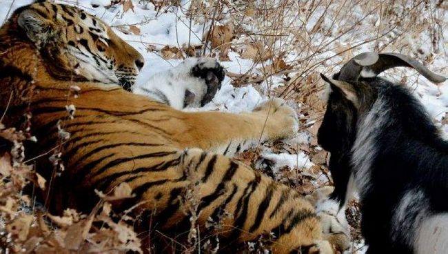 Тигр і козел Тимур.