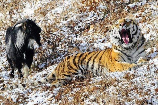 Тигр і козел.