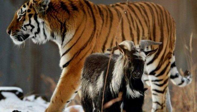Чому тигр, не з`їв козла Тимура?