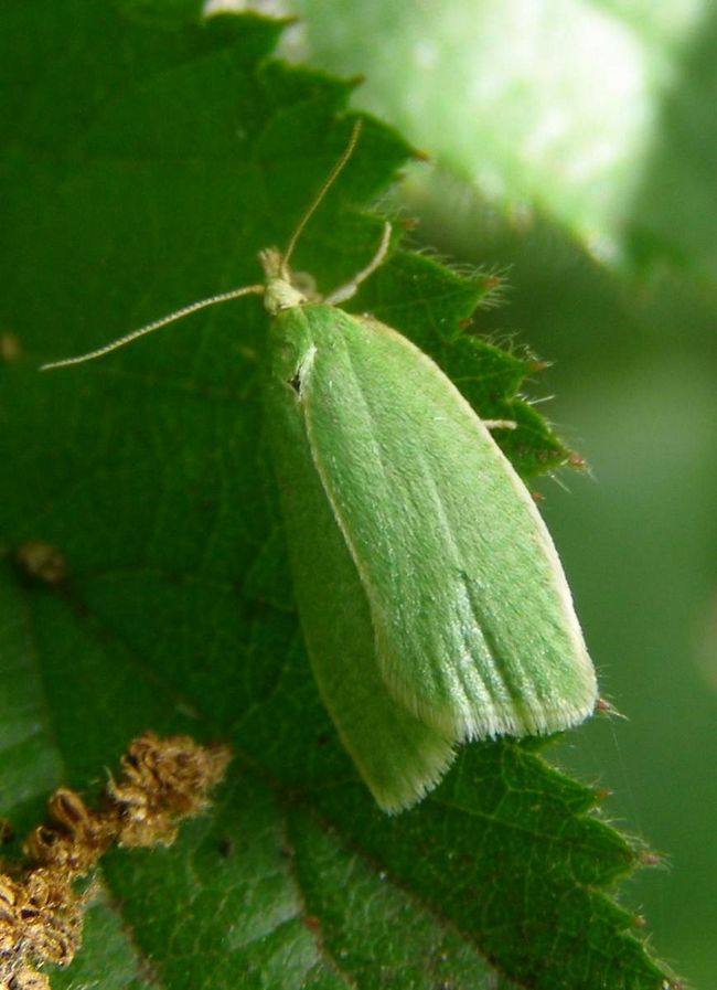 Зелена дубова листовійка (Grapholitha argyrana).