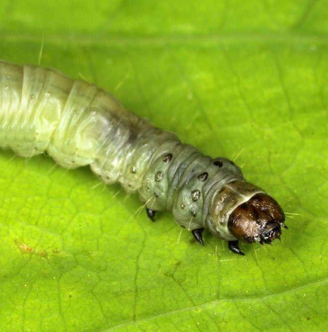 Гусениця зеленої листовійки мешкає і харчується в дубових нирках.