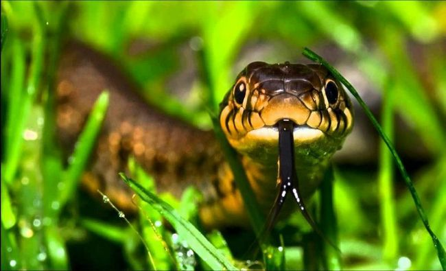 Отрута деяких змій досить сильний, щоб убити людину. Надавати змії душать або з`їдають видобуток цілком.
