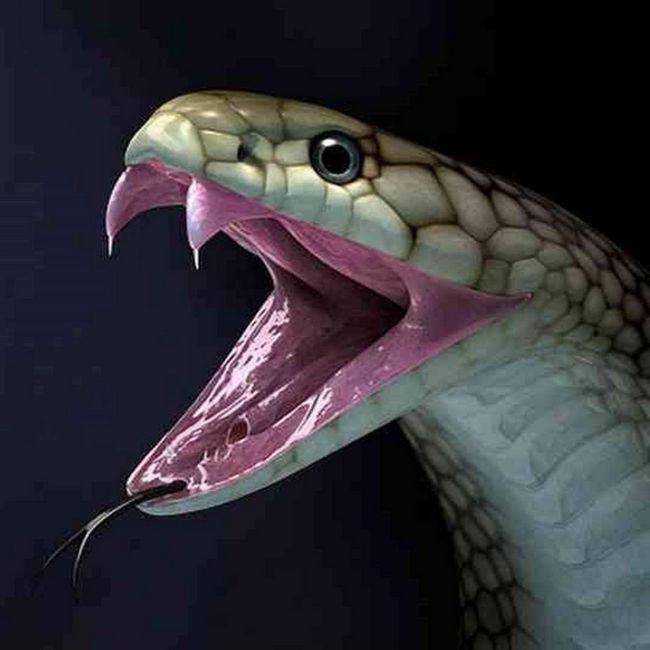 Змії часто ламають свої зуби, тому запас даних органів у них необмежений.