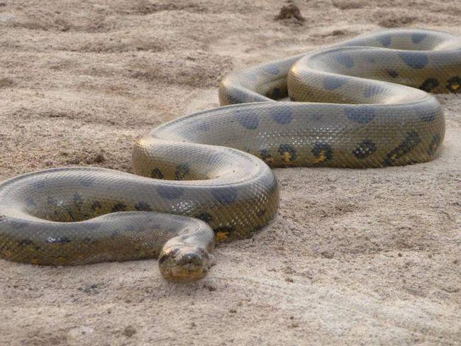 Сітчасті пітони - найдовші змії в світі. Вони здатні з`їсти вівцю, відомі випадки їх успішних нападів на людей.