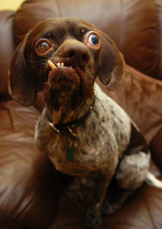 Дворічний пойнтер-крос носить звання найстрашнішої собаки Британії - фото Daily Mail