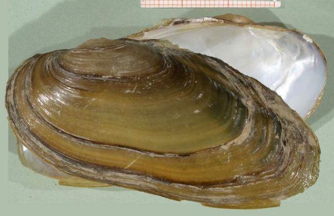 Три види перловіц поширені в Центральній Європі: U. crassus, U. pictorum і U. tumidus