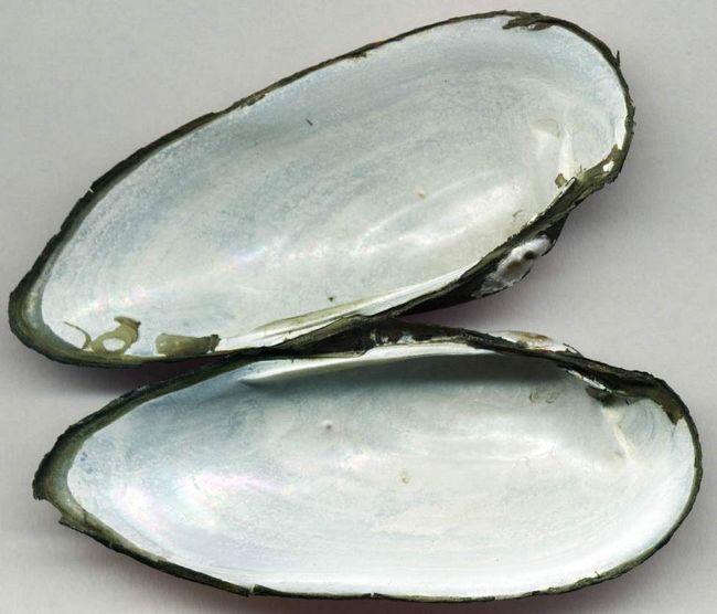Товста перловица з XX століття знаходиться під загрозою зникнення.