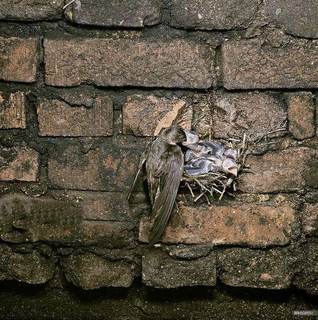 За словами канадського еколога Теда Ческі, в даний час придатних місць для розмноження цих птахів майже не залишилося.
