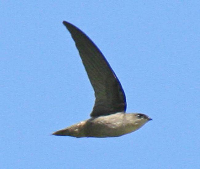 Димчастий іглохвостих - американська птах родини серпокрильцеві.