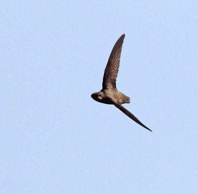 Птах гніздиться на сході Північної Америки від півдня Канади до Флориди.