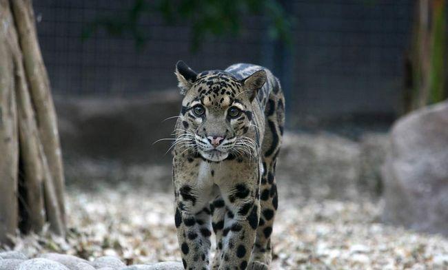 Димчастий леопард (Neofelis nebulosa).
