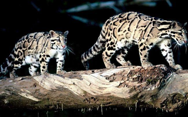 Димчасті леопарди - нічні мисливці.