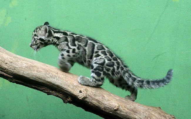 Кошеня димчастого леопарда.