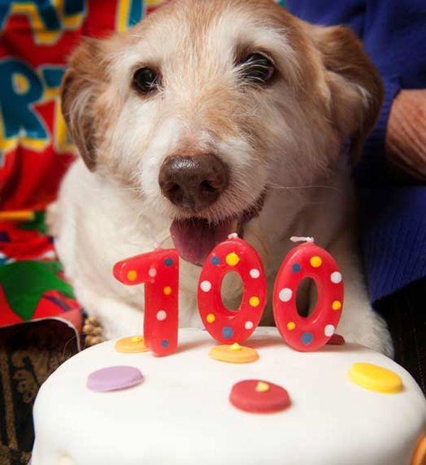 Джек-рассел по кличці Дейсі святкує 100-річний ювілей
