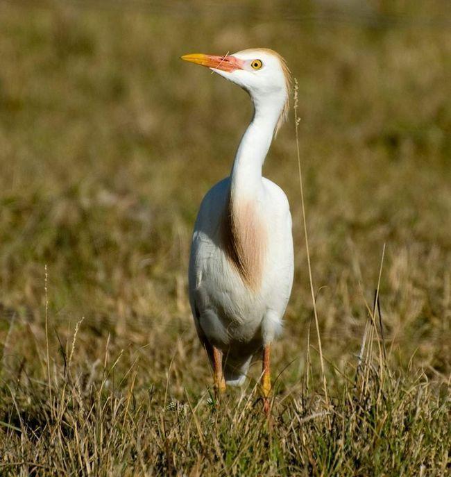 Єгипетська чапля (Bubulcus ibis).