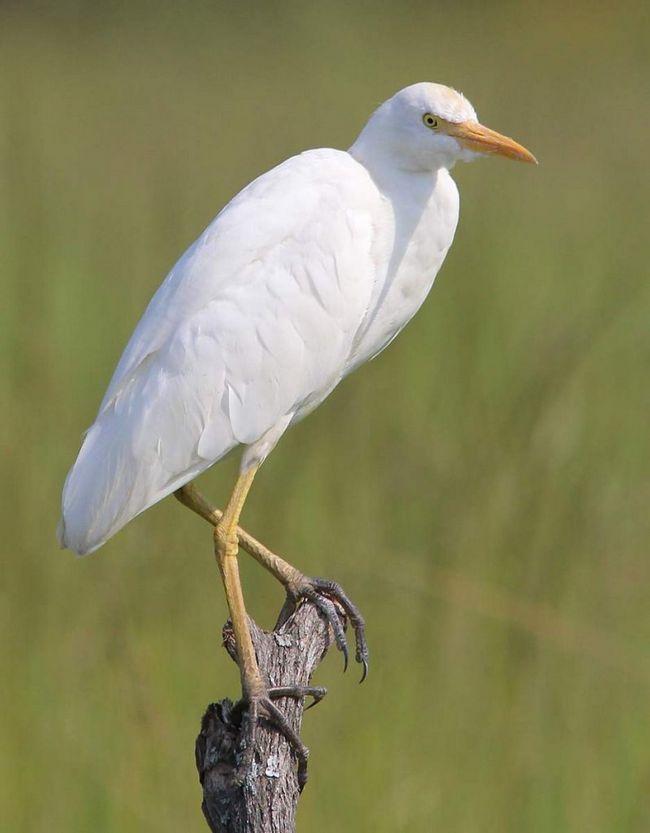 Єгипетські чаплі годуються групами і розмножуються в колоніях спільно з сусідськими птахами.