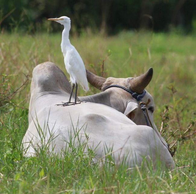 Єгипетські чаплі дружать з буйволами і часто проводять час на їх спинах.