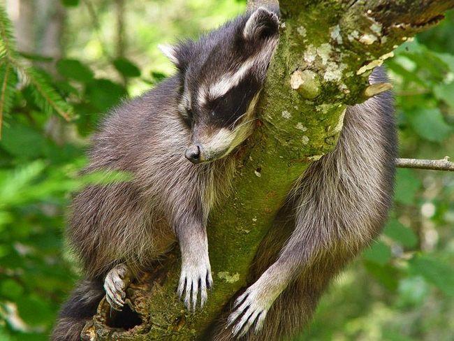 Цей єнот-полоскун відчуває себе в безпеці, тому заснув прямо на дереві