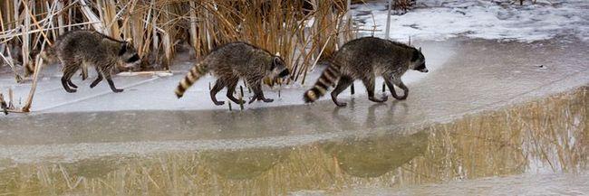 Єноти ранньою весною вийшли на лід у пошуках корму. За час зимової сплячки ці тварини витратили всі запаси накопиченого жиру