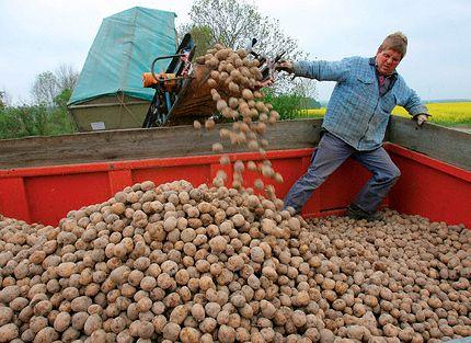Май 2009 року, Німеччина, ГМ-картопля Amflora ось-ось буде висаджено на тестових полях (фото Bernd Wuestneck / epa / Corbis).