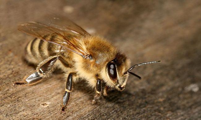 Європейська бджола (лат. Apis mellifera mellifera)