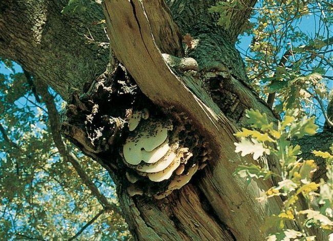 Бджолиний вулик в кроні дуба.