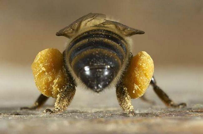 Пилок, прикріплена до задніх лапок європейської бджоли.