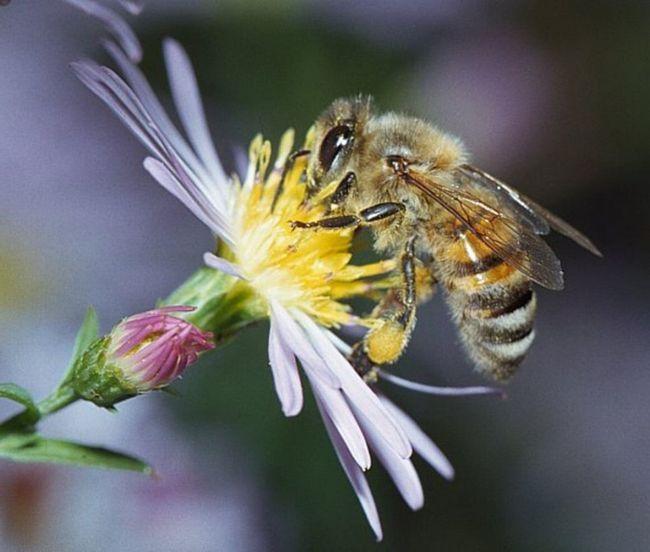 Європейська бджола збирає пилок з ромашки.