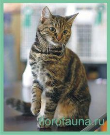 Европейскаякороткошерстная кішка