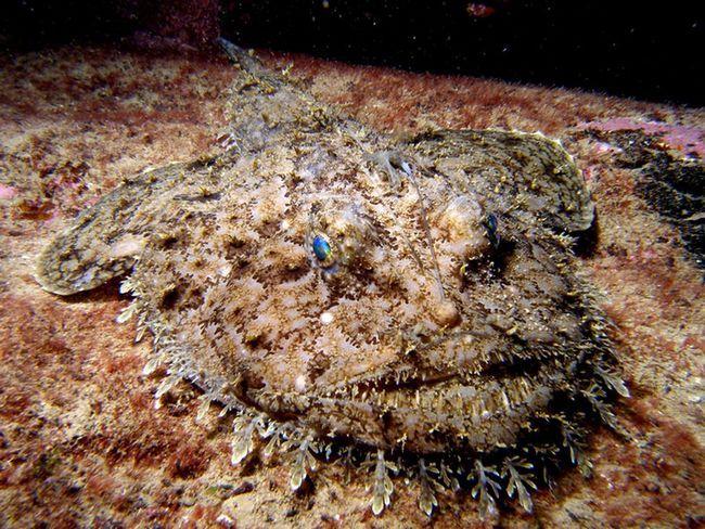 Морський чорт, або європейський морський чорт (лат. Lophius piscatorius)