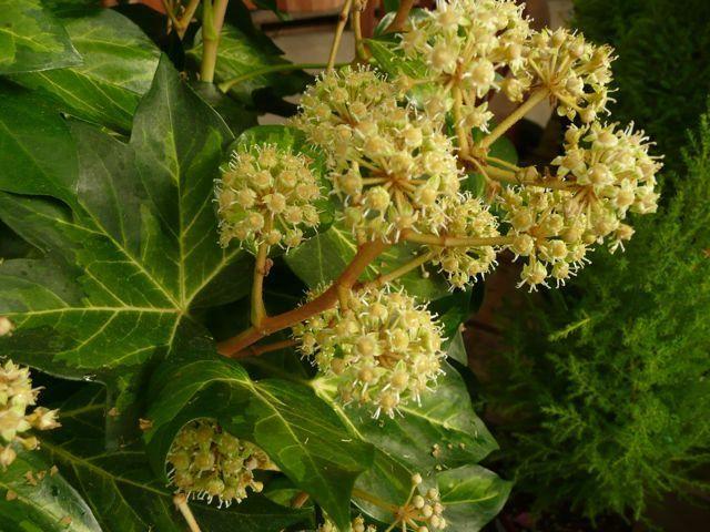 рослина Фатсхедера