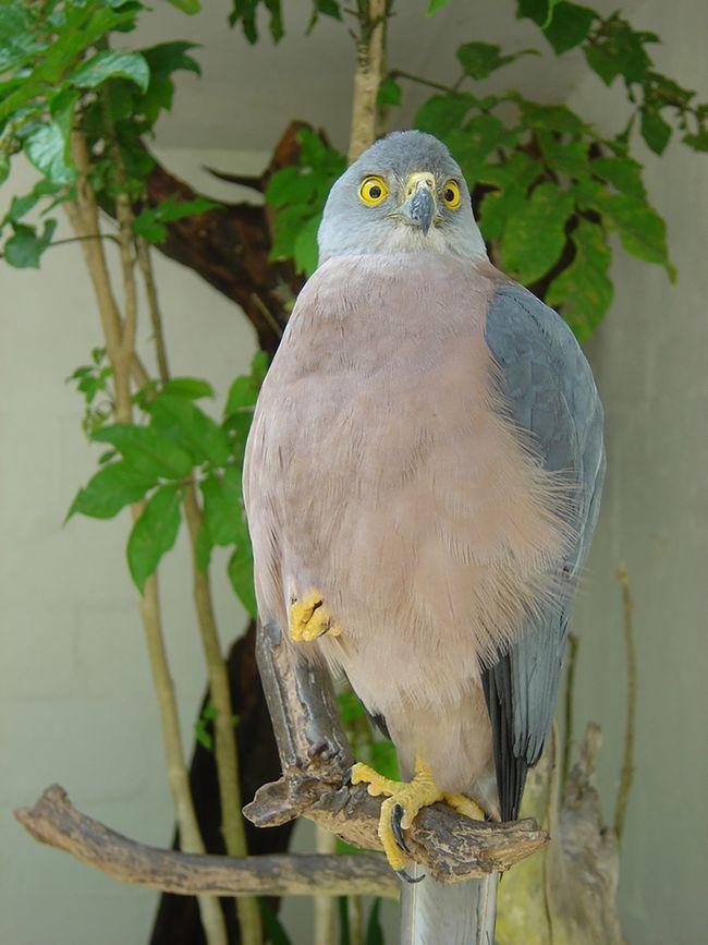 Молоді птахи іноді харчуються падаллю